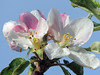 May Blossoms (sharis snaps -Here sporadically) Tags: spring ngc appleblossoms flowerthequietbeauty