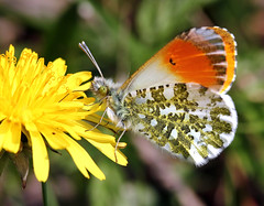 Orange Tip Top (Ger Bosma) Tags: summer food orange brown white black flower detail macro tongue closeup pose insect spring wings europa europe closed european pattern colours open close feeding sommer patterns side details posing inner nectar whites colourful outer falter blume mariposa showing antennae proboscis schmetterling vlinder detailed aurore opened foraging orangetip oranjetipje aurorafalter anthochariscardamines pieridae whitebutterflies zorzynekrzeuchowiec mygearandme mygearandmepremium mygearandmebronze mygearandmesilver mariposamusgosa mariposaaurora rememberthatmomentlevel1 pontalaranja coiledtongue foragieren img85958a