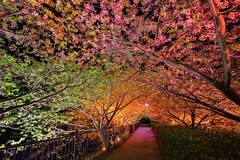 Tunnel of Love (arcreyes [-ratamahatta-]) Tags: flowers tree japan spring illumination greens cherryblossom sakura izu kawazu shizuokaprefecture 2013 kamodistrict