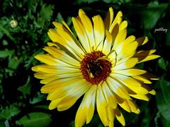 Calendula (pat.bluey) Tags: flowers macro green yellow australia newsouthwales 1001nights mygarden calendula coth supershot flickraward amazingdetails coth5 1001nightsmagiccity hennysgardens silveramazingdetails sunrays5