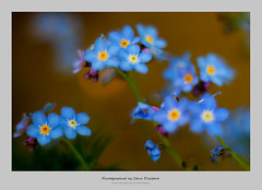 Impressionist (steve pickford) Tags: blue orange blur color colour macro yellow movement dof takumar tubes outoffocus m42 impressionism shape impressionist forgetmenots m42adapter takumar135mm steg2 eos5d2 highlandsteg stevepickford