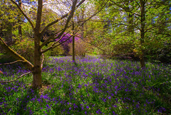 Dance of Colour (Vemsteroo) Tags: flowers wild england nature bluebells fairytale forest canon woodland carpet spring ancient woods 5 arboretum cotswolds beta fresh westonbirt bloom iconic epic f28 tranquil enchanted lightroom 6d coppice recce lseries springwatch 1635mm beautyinnature
