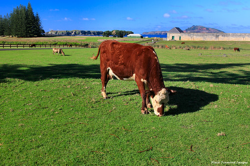 Dairy Cattle Grazing on Kingston Common With Prisoners Barracks Nepean Island and Phillip Island in the Background, Kingston, Norfolk Island