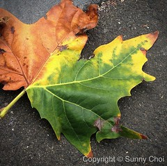 Winter or autumn?? (Sunny Choi) Tags: winter leaf maple foliage uploaded:by=flickrmobile flickriosapp:filter=nofilter