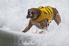 Boxer on board (San Diego Shooter) Tags: dog dogs sandiego surfer surfing imperialbeach loewscoronadobayresortsurfdogcompetition loewscoronadobayresortsurfdogcompetition2013