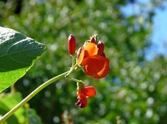 Scarlet Runner Bean (Phaseolus coccineus) P1240067 (fringedbenefit) Tags: flowers vines orange annuals plants