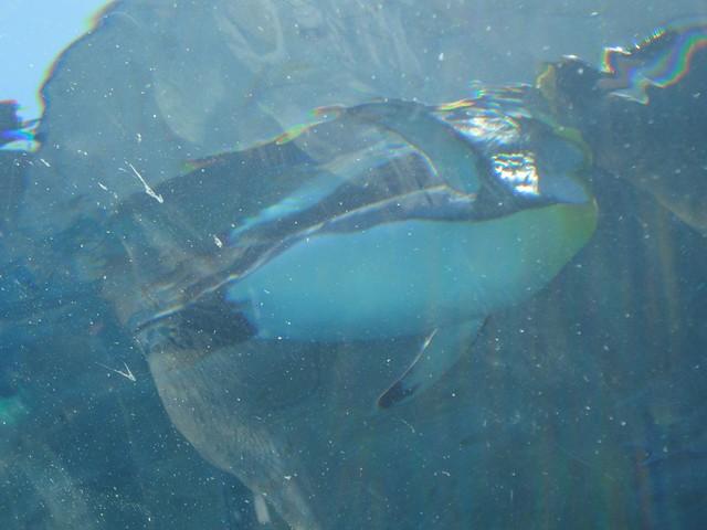 トンネルの上をペンギンたちがすいすいと泳いでいきました。|旭川市旭山動物園
