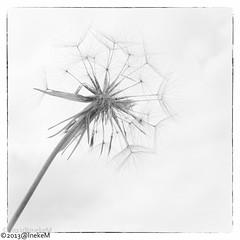 bloem in zwart wit (Jakesh2010) Tags: en groen natuur zwart wit vlinder mistig heemtuin