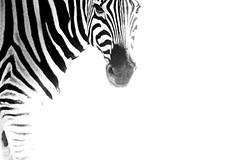 Zebra On White (Guy Colborne) Tags: africa wildlife zebra namibia etosha