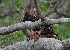 African Crowned Eagle with its antelope prey. (Rainbirder) Tags: kenya africancrownedeagle nairobinationalpark crownedeagle stephanoaetuscoronatus rainbirder