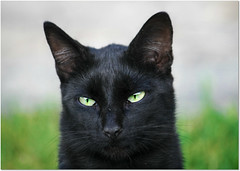 Devil cat ... (Viola's visions ) Tags: cats animals blackcat fe
