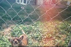 Que onda (QsySue) Tags: dog house grass oregon yard fence blurry toycamera lawn lightleak 35mmfilm pendleton myfirst colorfilm fujifilm200 35mmfilmcamera 35mmtoycamera