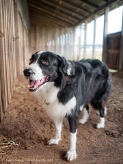 Charlie in the stable (Sean Savery Photography) Tags: dog raw australia tasmania bordercollie stables showgrounds ulverstone gf1 microfourthirds dmcgf1 olympus17mmf18