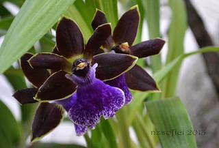 Orchid - Orchidea