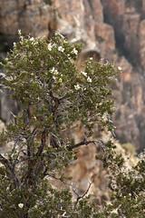 Purshia stansburiana (Layla Dishman) Tags: rosaceae