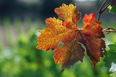 Automne te voil de retour ! (rj@ubertsb) Tags: automne couleurs sony aude carcassonne vigne vendange tamronspaf90mmf2 villalbe rjubertsb