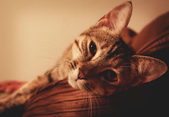 Kitty face (Angie Lealuez) Tags: face cat bed kitty ears sleepy lounging