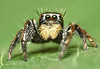 Adult Male Jumping Spider (karthik Nature photography) Tags: color macro nature animals closeup forest canon garden photography spider spiders wildlife discovery jumpingspider nationalgeographic macrophotography salticidae macroworld animalworld spiderworld insectphotography karthikeyans macrolife malejumpingspider colorfuljumpingspider beautifuljumpingspider jumpingspidersinindia nakaphocom nakapho