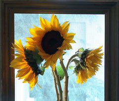 Framed Sunflowers (See El Photo) Tags: california ca blue 15fav favorite sun 3 plant flower color colour green window nature beautiful yellow cali 510fav three nice stem colorful pretty colore cut framed sunny screen indoors picked frame sunflower inside fav dying couleur 1000 pedal 1000views plucked woodenframe steams 5favs