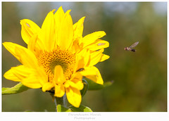 a fly flying to the sunflower (Den Boma Files) Tags: flowers blue summer sky white plant flower color nature beautiful field animal yellow closeup fauna insect fly flying petals spring flora colorful close bright blossom background nobody nopeople seeds petal single sunflowers sunflower oil agriculture isolated