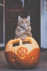 Rosie in a VW Pumpkin (Kilkennycat) Tags: cute halloween vw cat canon volkswagen pumpkin kitten jackolantern kitty 50mm14 500d kilkennycat t1i ryanconners