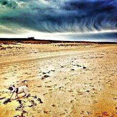 Izzy at beach (Lisa Cohen Photography) Tags: sea dog pet beach mutt capecod dailyart lisacohenphotography