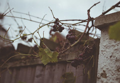 (magnolialux) Tags: film fruit 35mm out vines kodak branches grapes about