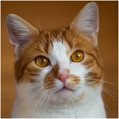 Face to face with Ramses (FocusPocus Photography) Tags: portrait cat feline chat kitty porträt gato katze kater ramses ambereyes shorthaired bernsteinaugen kurzhaarkatze coth5 sunrays5