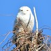 Snowy Owls in Jamaica Bay December 2013
