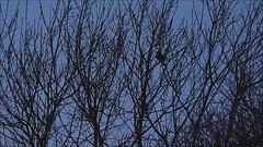Blackbird Singing (ukstormchaser (A.k.a The Bug Whisperer)) Tags: uk winter tree male bird robin birds animal animals singing song wildlife january milton keynes blackbird
