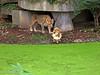 Asian Lions