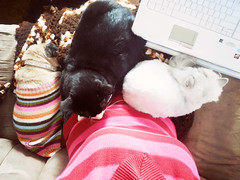I need more lap. (Jenn ) Tags: dog cat persian felix leah pug rescuecat fritzy formerstray fiv fivcat fivpositive fivawareness
