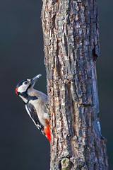 Woodpecker peering out the brench (iron frank) Tags: birds woodpecker feeding wildlife birdwatching canon5dmarkii oasinaturalisticadicervara sigma500f45exdgapo kenkogdxpro30014 vision:text=0521 vision:outdoor=0966