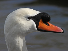 Male Mute Swan (BIKEPILOT, Thx for + 5,000,000 views) Tags: orange white male bird nature animal swan head wildlife profile waterfowl cob muteswan
