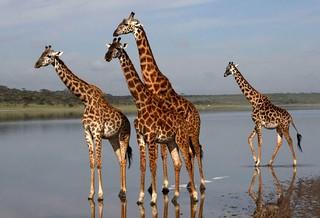 Giraffe (water hole, Tanzania)