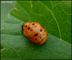 Cocoon of Ladybug (Zachi Evenor) Tags: nature insect israel beetle 7 insects spot spots ladybird ladybug spotted  septempunctata coccinella insecta              zachievenor coccinellaseptempunctat