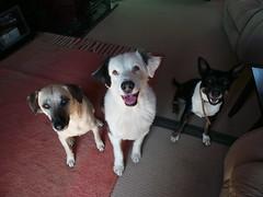 Punchkin, Shepo & Bridget (Rayya The Vet) Tags: dog vet canine australianshepherd whippetcross vetpet dingocross