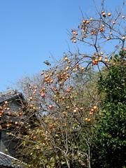 #3218 kaki persimmon () tree (Nemo's great uncle) Tags: tokyo flora  persimmon  kaki  chitosedai diospyros  setagayaku diospyroskaki kakipersimmon
