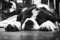 Crufts 2014 (John Liot) Tags: sleeping blackandwhite pet cute animal giant hilarious birmingham sleep fluffy ears paws dogshow fella stbernard jowls 2014 crufts 24105mm canon6d johnliot