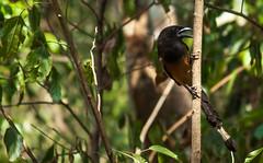 india birds kerala palakkad rufoustreepie