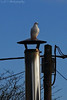 Dove on a hot tin roof! (g_and_t_photography) Tags: birds dove whitedove britishbirds ukbirds britishwildlifeandnature