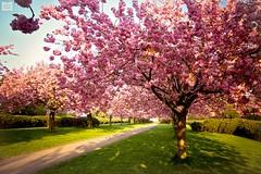 *S*A*K*U*R*A* (AndreaKamal.com) Tags: flowers spring seasonal blossoms cherryblossom sakura frhling  japanischekirschblte fiorediciliegio