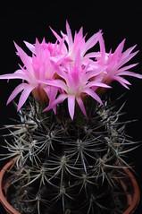 Neoporteria subgibbosa var. nigrihorrida f. nigra (Orkel2012) Tags: cactus neoporteria succulent nikon 40 mm