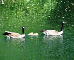 On their way (EcoSnake) Tags: water birds geese wildlife goslings waterfowl canadageese naturecenter boiseriver idahofishandgame