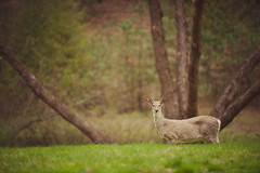 Scraggly. (therealjatch) Tags: park wild green animal animals washington nikon spokane farm country deer there wa 28 stay d3 80200