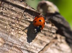 Ladybird (Curl66) Tags: sunlight macro tree nature closeup canon garden insect photography eos scotland beetle stump ladybird moray 1100d
