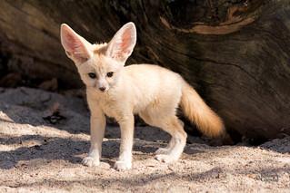 Fennec fox - Ørkenrev