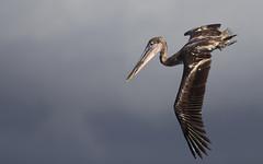 Galapagos-20140714-1650-BK2W4105-Edit (Swaranjeet) Tags: pelican pelicans galapagos ecuador bird largebirds july2014 canon fullframe 1dx eos1dx dslr sjs swaran swaranjeet swaranjeetsingh sjsvision sjsphotography swaranjeetphotography 2014 eos canoneos1dx 35mm ef pro 200400 canonef200400mm canonef200400mmf4lisusm14x singh photographer thane mumbai india indian