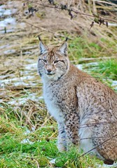 Nothern Lynx (Michelle O'Connell Photography) Tags: wild animals cat scotland countryside feline unitedkingdom fife wildlife bigcat lynx touristattraction ecosse cupar bowoffife thescottishdeercentre michelleoconnellphotography nothernlynx
