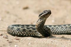 Adder - Stroe 2011 (Ralph Apeldoorn) Tags: nature netherlands reptile snake nederland natuur veluwe adder slang gelderland reptiel stroe